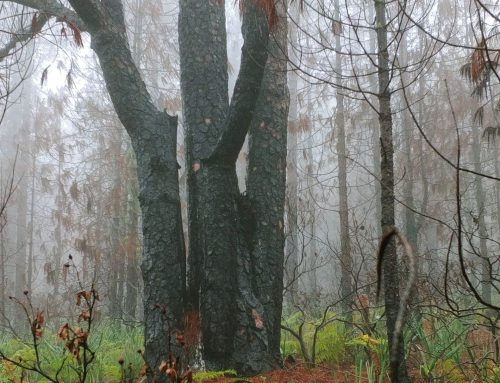 Leven in het bos na een brand.